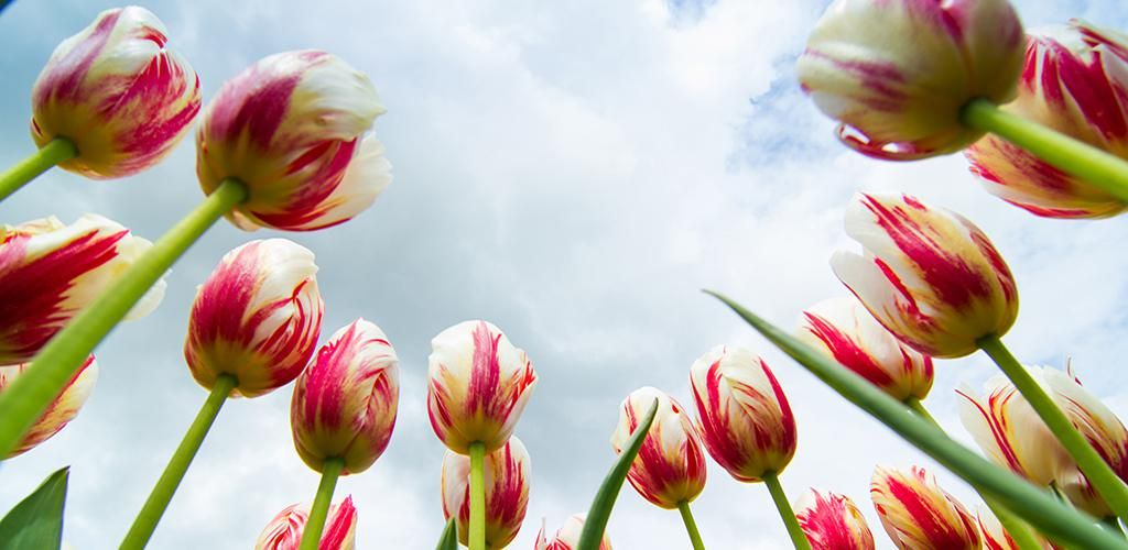 Amsterdam Tulip Days