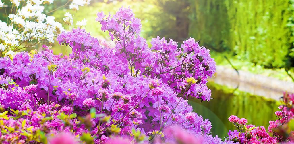 Keukenhof - Paarse bloemen